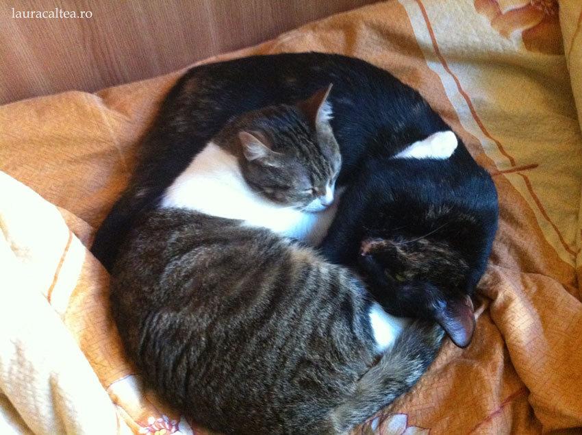 Treburi pisicești